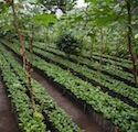 Los Papales, Pacamara New Coffee Trees