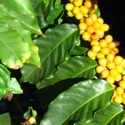 Maui Yellow Caturra Coffee Beans on the tree